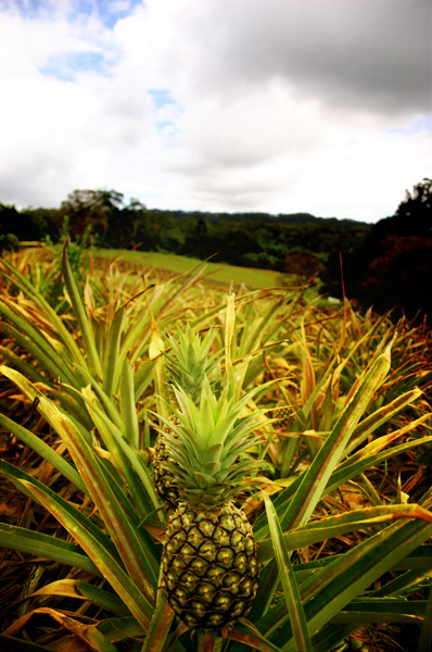 Australia pineapple plantation @ The Big Pineapple