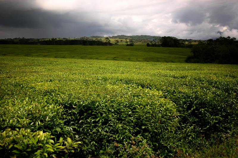 Australia Tea Plantation Queensland